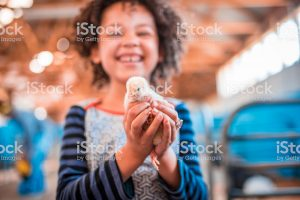 Girl is holding chicken in her hands on a farm in Australia.